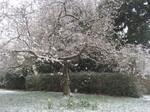 雪の中のアーモンド・チェリー